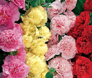 Hollyhock Chater's Double Mix Bulk Seeds - Alcea Rosea