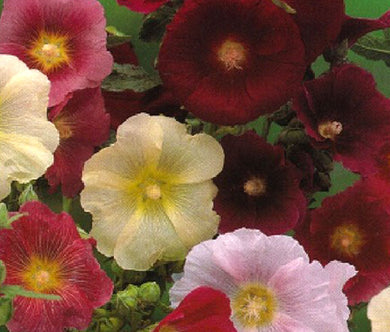 Hollyhock Indian Spring Single Mix Bulk Seeds - Alcea Rosea