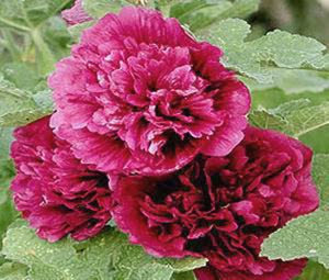 Hollyhock Queeny Purple Bulk Seeds - Alcea Rosea