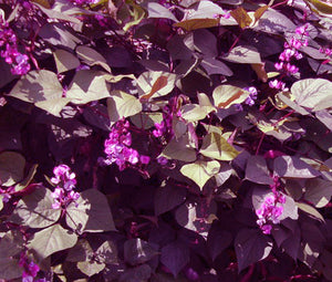Hyacinth Bean Red Leaved Non GMO Bulk Seeds - Lablab Purpureus