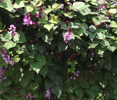 Hyacinth Bean Non GMO Seeds - Lablab Purpureus