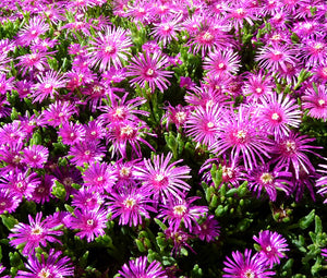 Ice Plant Pink Table Mountain Bulk Seeds - Delosperma Cooperi