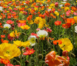 Iceland Poppy Seeds - Papaver Nudicaule