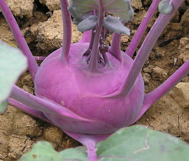 Kohlrabi Early Purple Vienna Non GMO Bulk Seeds - Brassica Oleracea