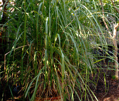 Lemon Grass East Indian Non GMO Bulk Seeds - Cymbopogon Flexuosus