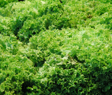 Lettuce Looseleaf Green Ice Non GMO Bulk Seeds - Lactuca Sativa