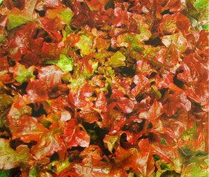 Lettuce Looseleaf Red Sails Non GMO Bulk Seeds - Lactuca Sativa