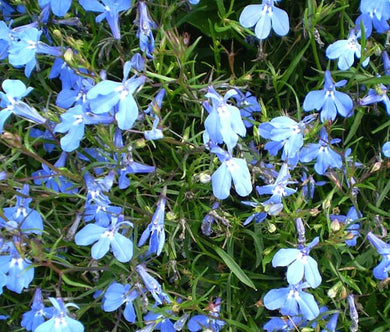Lobelia Blue Carpet Seeds - Lobelia Erinus