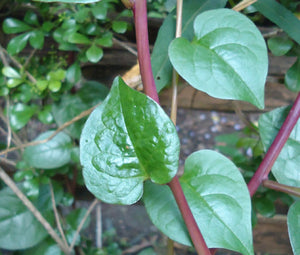 Malabar Spinach Red Stem Seeds - Basella Rubra