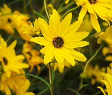 Sunflower Maximilian Seeds - Helianthus Maximiliani
