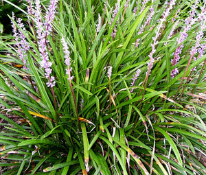 Monkey Grass Bulk Seeds - Liriope Muscari