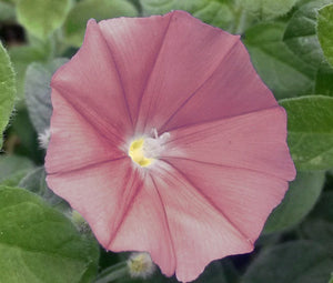 Morning Glory Japanese Chocolate Seeds - Ipomoea Nil
