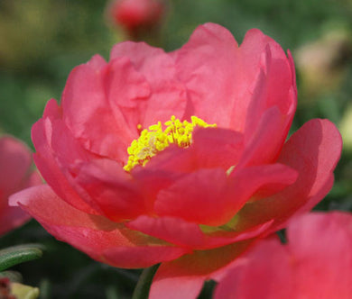 Moss Rose Red Bulk Seeds - Portulaca Grandiflora