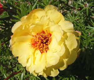 Moss Rose Yellow Seeds - Portulaca Grandiflora