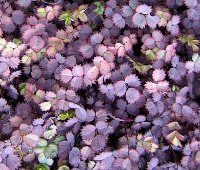 New Zealand Burr Bulk Seeds - Acaena Inermis Purpurea