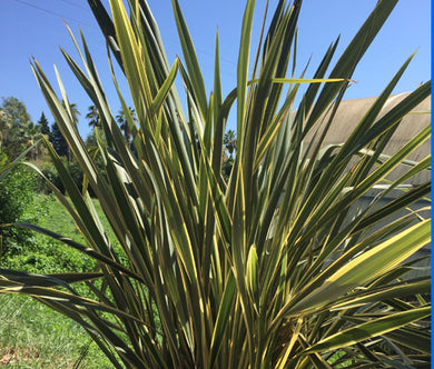 New Zealand Flax Bulk Seeds - Phormium Tenax New Hybrids
