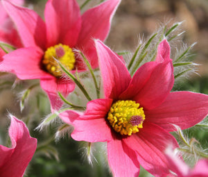 Pasque Flower Red Bulk Seeds - Pulsatilla Vulgaris Rubra