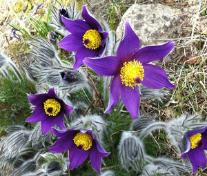 Pasque Flower Violet Seeds - Pulsatilla Vulgaris