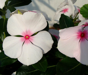Periwinkle Dwarf Little Bright Eyes Seeds - Catharanthus Roseus