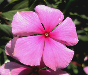 Periwinkle Dwarf Pink Little Delicata Bulk Seeds - Catharanthus Roseus