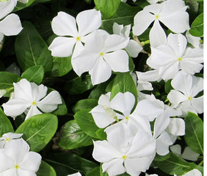 Periwinkle Dwarf White Little Blanche Bulk Seeds - Catharanthus Roseus