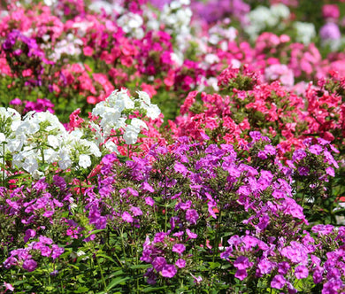 Phlox Mix Bulk Seeds - Phlox Drummondii
