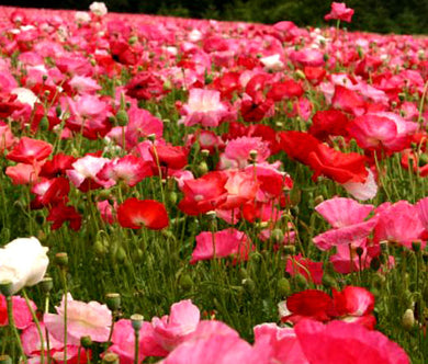 Poppy Cascade Pocket Wildflower Mix Bulk Seeds