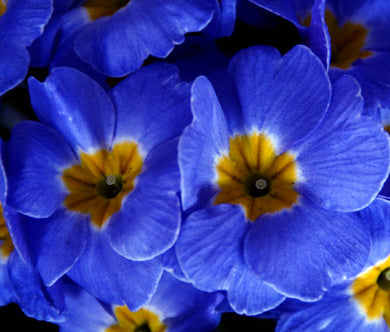 Primrose English Accord Blue Bulk Seeds - Primula Vulgaris