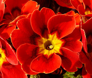 Primrose English Accord Scarlet Red Bulk Seeds - Primula Vulgaris