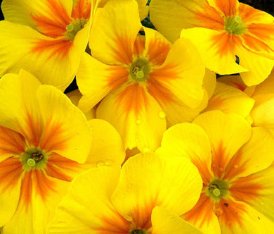 Primrose English Accord Yellow Bulk Seeds - Primula Vulgaris