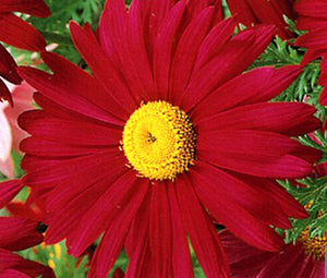 Pyrethrum Robinson's Red Bulk Seeds - Chrysanthemum Coccineum