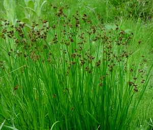 Rush Swordleaf Seeds - Juncus Ensifolius