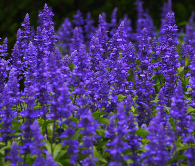 Sage Blue Non GMO Seeds - Salvia Farinacea