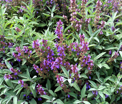 Sage Garden Non GMO Seeds - Salvia Officinalis