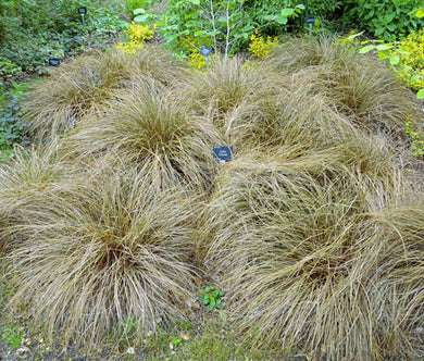 Sedge New Zealand Hair Frosted Curls Seeds - Carex Comans