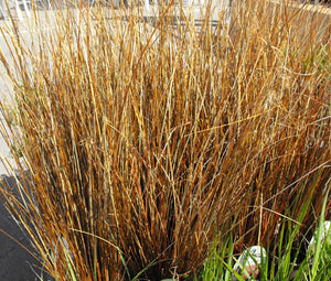 Sedge Leatherleaf Red Rooster Bulk Seeds - Carex Buchananii