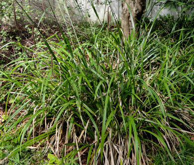 Sedge Pendulous Fresh Look Seeds - Carex Pendula