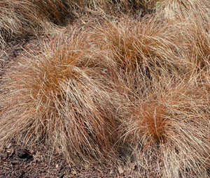 Sedge Weeping Brown Seeds - Carex Flagellifera