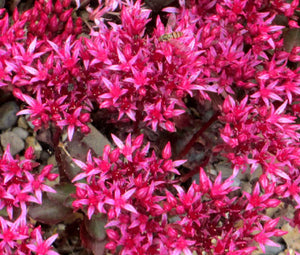 Sedum Dragons Blood Seeds - Sedum Spurium