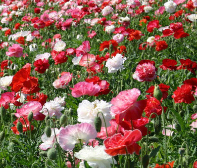 Shirley Poppy Double Mix Bulk Seeds - Papaver Rhoeas