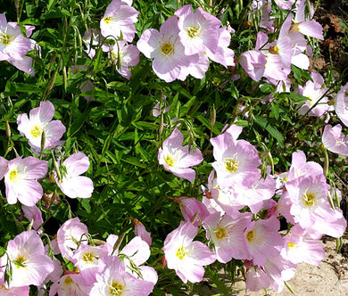 Showy Evening Primrose Non Bulk Seeds - Oenothera Speciosa