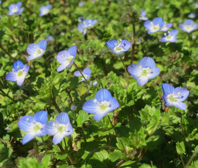 Speedwell Creeping Blue Bulk Seeds - Veronica Repens