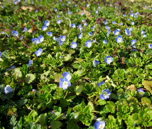 Speedwell Creeping Blue Bulk Seeds - Veronica Repens 2