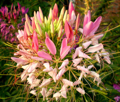 Spider Flower Rose Queen Bulk Seeds - Cleome Hassleriana