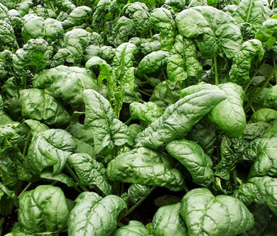 Spinach Bloomsdale Non GMO Bulk Seeds - Spinacia Oleracea