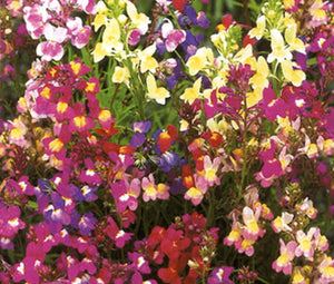 Spurred Snapdragon Toadflax Fairy Bouquet Bulk Seeds - Linaria Maroccana