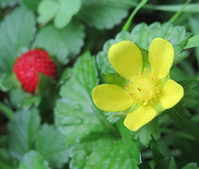 Strawberry Indian Non GMO Bulk Seeds - Duchesnea Indica