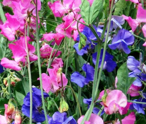 Sweet Pea Royal Family Mix Bulk Seeds - Lathyrus Odoratus