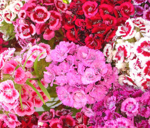 Sweet William Seeds - Dianthus Barbatus