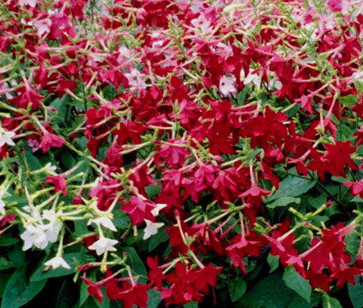 Tobacco Flowering Seeds - Nicotiana Alata